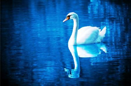 Elegant swan swimming